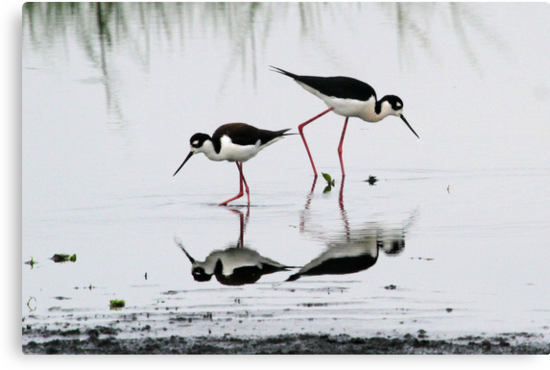 Black necked Stilts with reflection(My reflection is better than yours!) by jozi1