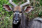 Nyala Male Close Up by Michael  Moss