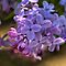WON the 'LAVENDAR LILACS - Group MEMBERS ONLY - May $V' challenge of group 'Lovely Lavender …' on 22 May 2012