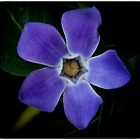 Periwinkle, vinca minor by JimWork