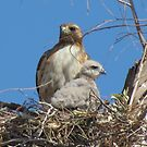 Red-tailed Hawk & Chick by Kimberly Chadwick