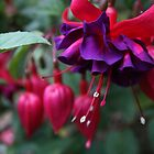 Fuschia by Keith G. Hawley