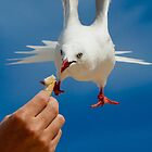 Bischeno, Tasmania - poor hungry Seagulls by Peter Smith