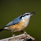 A nuthatch by Daniel  Parent
