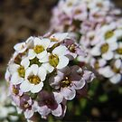 Alyssum by TheaShutterbug