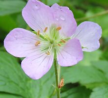 Wild Geranium vertical card crop by Ron Russell