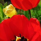 Spring Tulips by annabe11e5