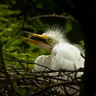 Three Week Old Great White Egret on Nest by Joe Jennelle