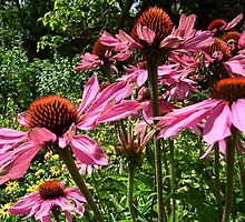 Echinacea Cone Flowers by lynn carter
