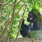 Silverback by Mark Fendrick