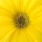 Yellow Daisy by TheaShutterbug