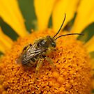 Flower Bee. by mikepemberton