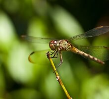 Dragon fly by JACSphotography