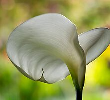 Elegant calla against nature's painted backdrop by Celeste Mookherjee