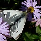 Cabbage White In Shadow by Margaret Saheed