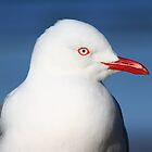 Red-billed gull in profile by Duncan Cunningham