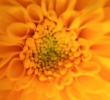 Viceroy chrysanthemum by seanwareing