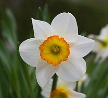 White Daffodil by Vagrant484