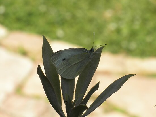 Cabbage White Butterfly by ack1128