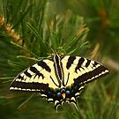 Butterfly In Pine. by mikepemberton