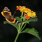 Red Admiral Butterfly & Texas Lantana by Penny Odom
