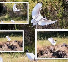Sacred Ibis in Flight Collage by alycanon