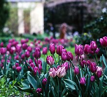 Tulips—Botanical Gardens, Hobart by Brett Rogers