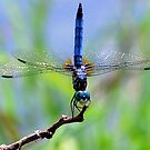 The Dragonfly by Grinch/R. Pross