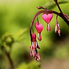 Bleeding hearts by PhotoTamara