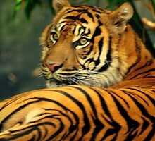 Indian Tiger In Australia by Stan Owen