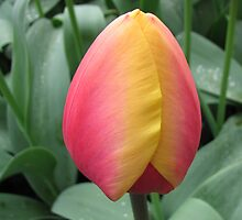 Gorgeous Two-Tone Tulip by kathrynsgallery