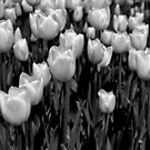 White Tulips by Robin Lee