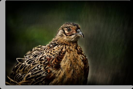 Lady Pheasant by Karol Livote