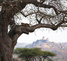 Leopard in Baobab tree by nymphalid