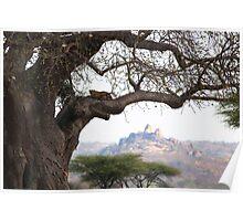 Leopard in Baobab tree Poster