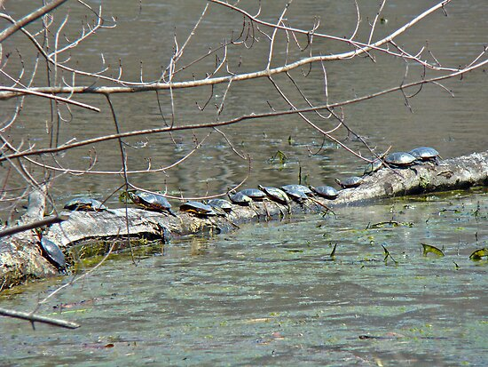 Painted Turtle Haul Out - Chrysemys picta by MotherNature
