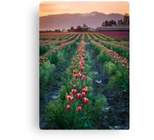 Skagit Tulips at Dawn Canvas Print