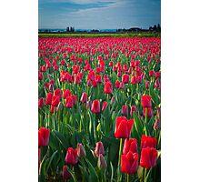 Mount Vernon Tulips Photographic Print