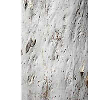 Silver Eucalyptus Tree with a Smooth Surface Photographic Print