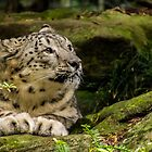 Dreaming Snow Leopard by Luke Kliman