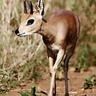 An Adult Male Steenbok by Michael Deeble