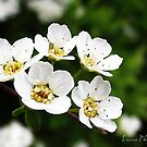 WHITE SPRING FLOWER by Luca Cosner