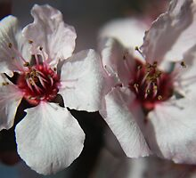 PLUM BLOSSOMS by fsmitchellphoto