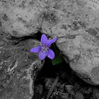 Purple Flower Pushing Through Rocks by Jim Round