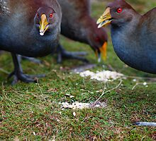 Native Hens feeding  by Leitz 135mm f2.8 by Ron Co