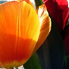 The orange tulip by minorbubbles