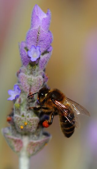 """Lavender Pollen Outlet"" by jonxiv"