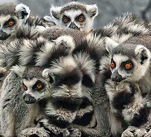 Ring -Tailed Lemur by John Dickson