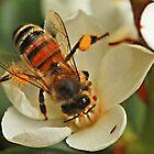 Macro Bee by Peter Edwards