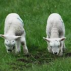Spring lambs by rkdownton